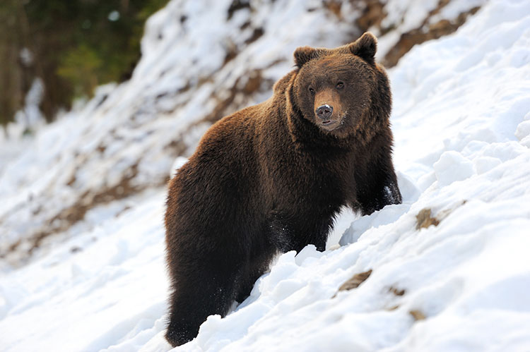WATCH: Baby bear climbs up snowy cliff to Mama Bear