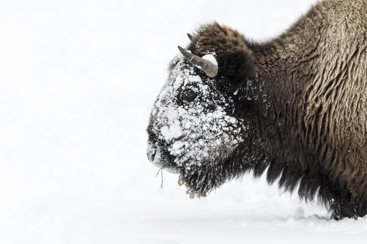 WATCH: Snowmobilers capture magnificent bison herd