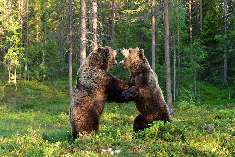 WATCH: Brown bears brawl it out