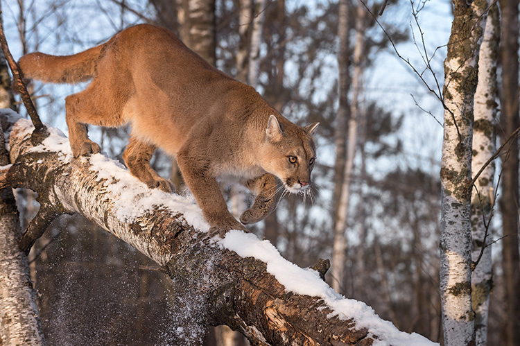 WATCH: Trail cam captures cougar lurking in woods