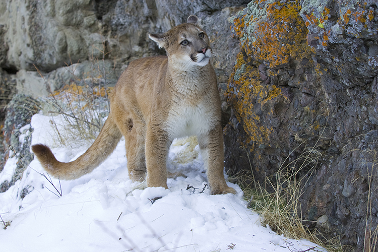WATCH: Curious cougar gets a little too close for comfort