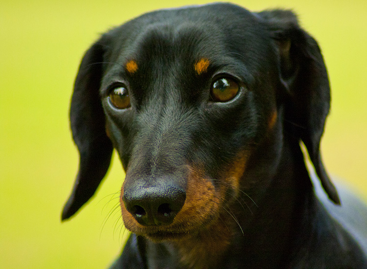 Watch: These two dachshunds might be a better shot than you