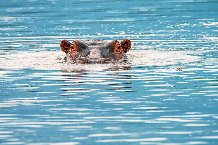 WATCH: Hippo races after tour boat