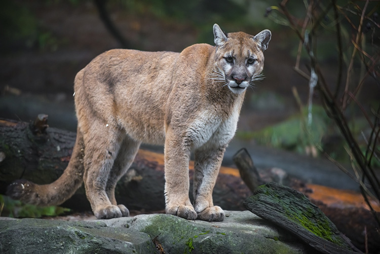 Watch: Mountain lion faces the ultimate foe