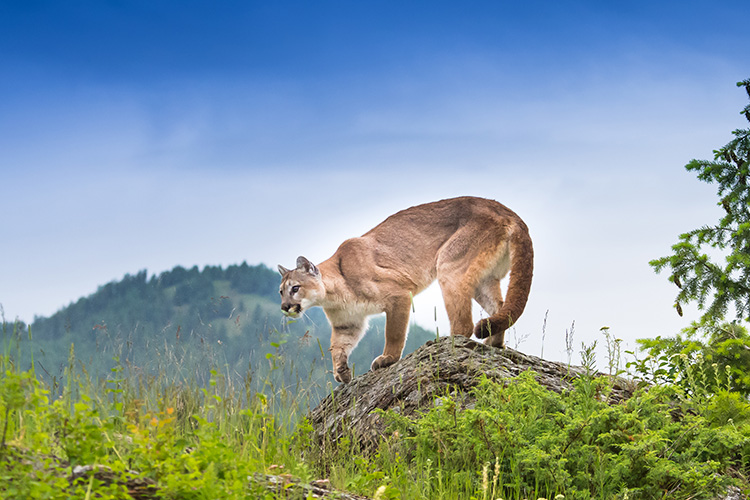 WATCH: Mountain lion fooled by deer decoy