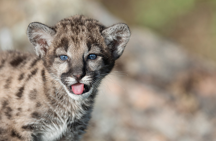 WATCH: An up-close and personal look at mountain lion kittens