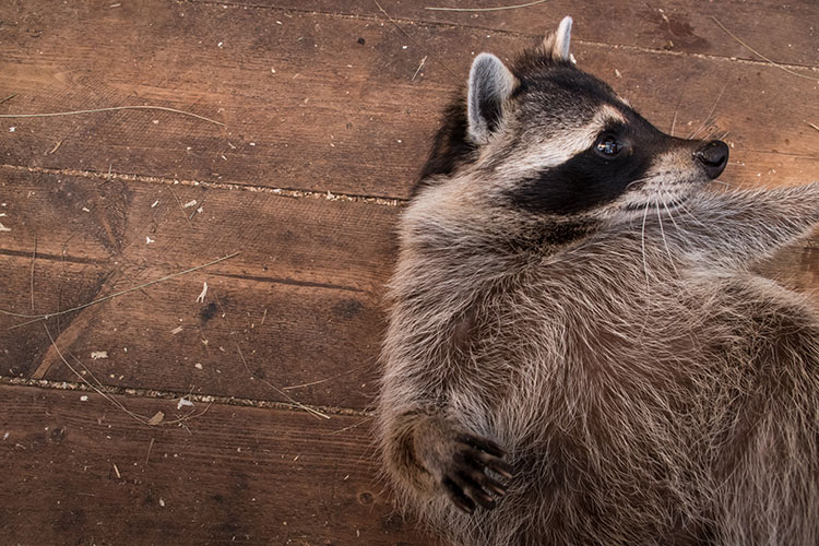 WATCH: This may be the chubbiest raccoon ever