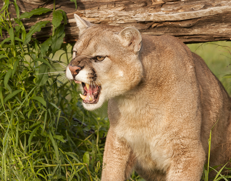 WATCH: Stalked by a Mountain Lion