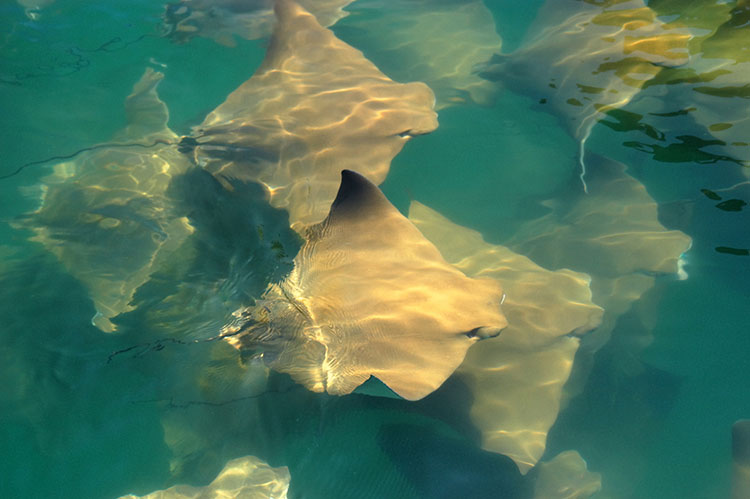 WATCH: Magical stingray migration in Florida